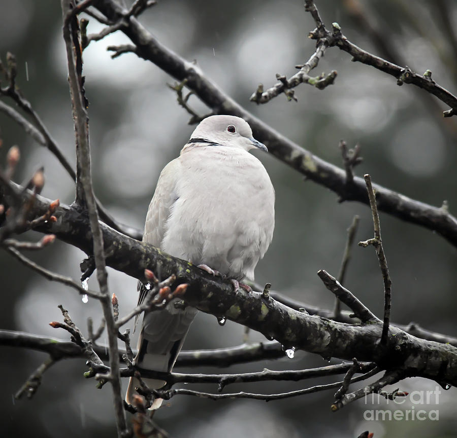 Eurasian Collared Dove by Kerri Farley