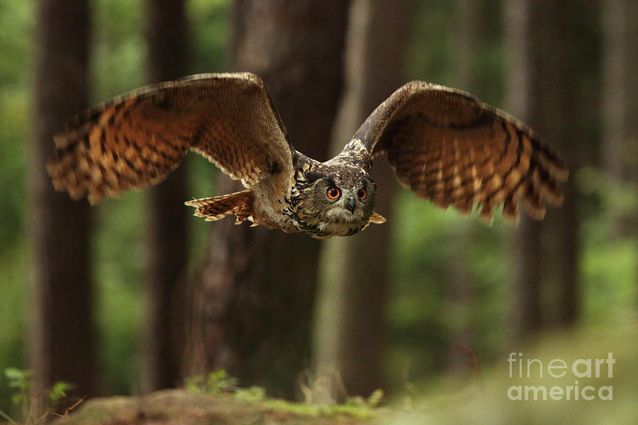 Eurasian Eagle-owl Bubo Bubo Flying Photograph by Jan Drahokoupil
