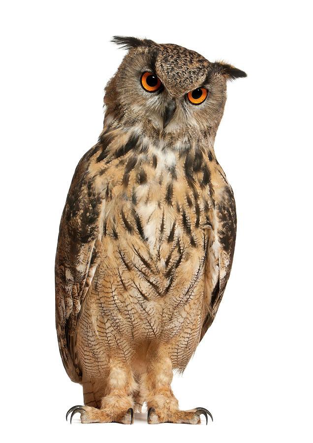 Eurasian Eagle-owl Bubo Bubo Photograph by Life On White