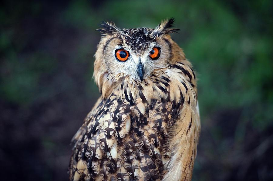Eurasian Eagle-owl Bubo Bubo Photograph by Marcin Rozpedowski