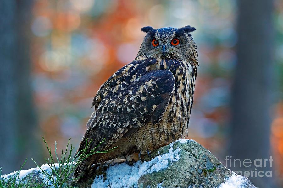 Big Photograph - Eurasian Eagle Owl Bubo Bubo Sitting by Ondrej Prosicky