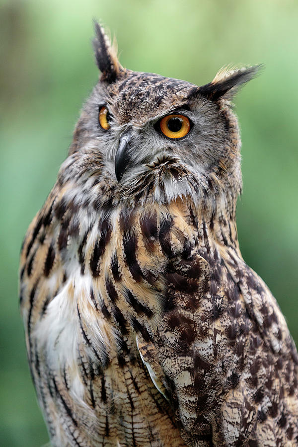 Eurasian Eagle Owl On Alert by Wes and Dotty Weber