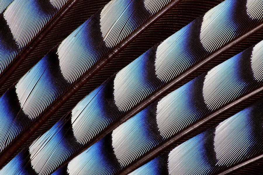 Eurasian Jay Wing Pattern Photograph by Darrell Gulin