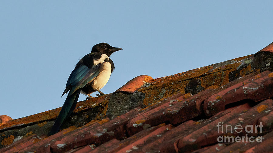 Eurasian Magpie Pica Pica on Tiled Roof by Pablo Avanzini