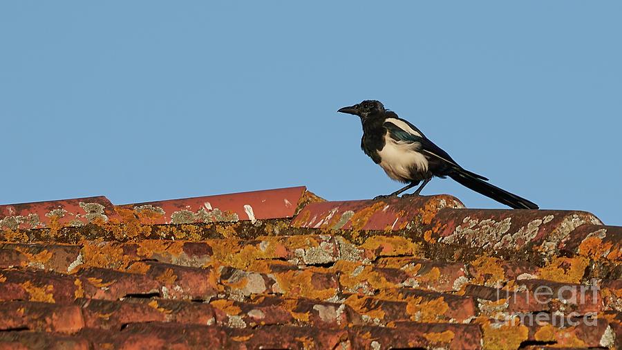 Eurasian Magpie Tuddus Merula on Tiled Roof by Pablo Avanzini