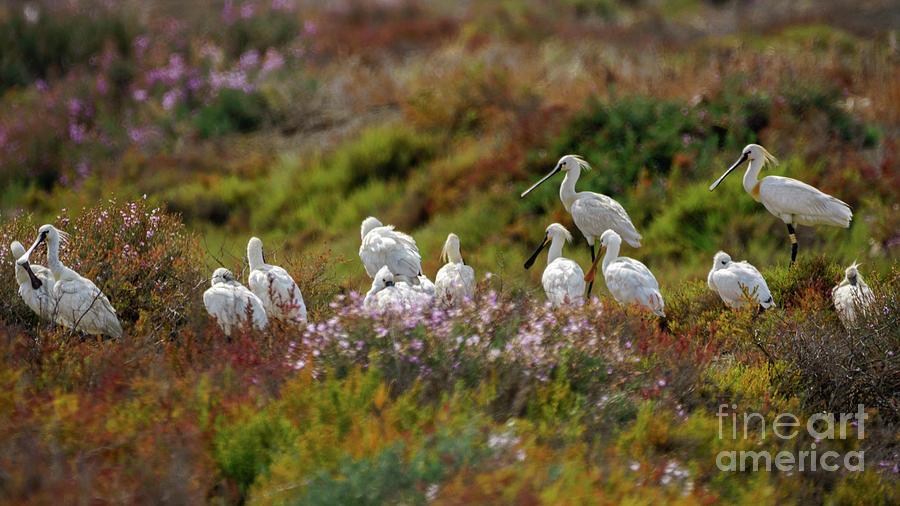 Eurasian Spoonbill Cadiz Bay Natural Park by Pablo Avanzini