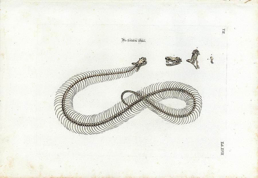 European Adder Skeleton by Johann Daniel Meyer