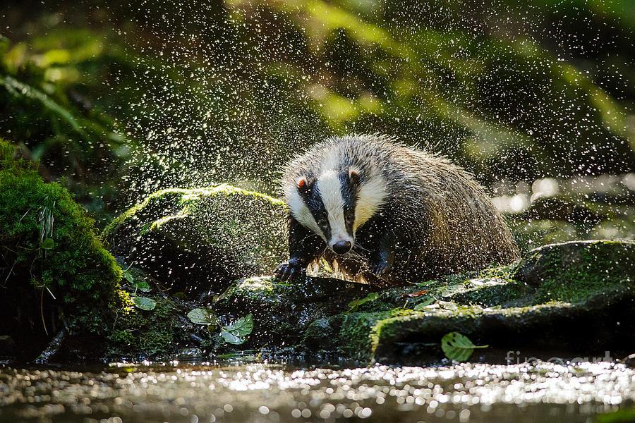 Fur Photograph - European Badger Shaking And Splashing by Stanislav Duben