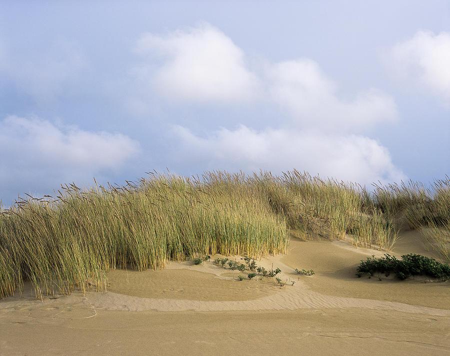 European Beachgrass by Robert Potts