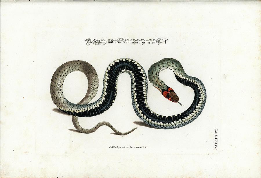 European Grass Snake by Johann Daniel Meyer
