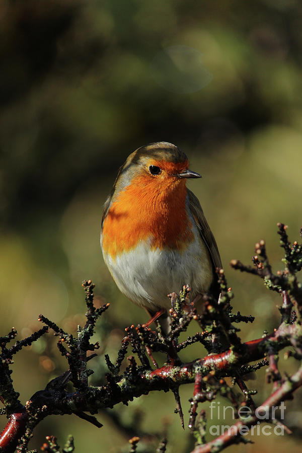 European Robin Donegal Ireland 87 by Eddie Barron