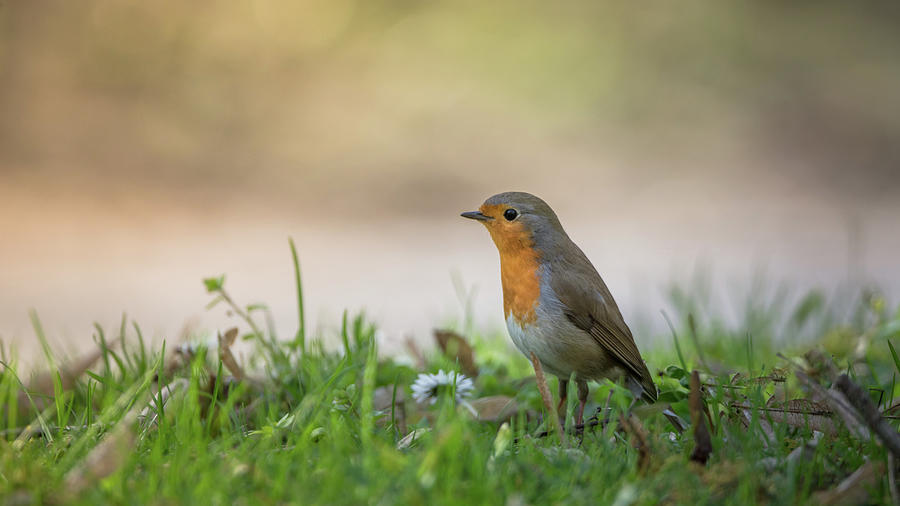 European Robin In The Garden Photograph