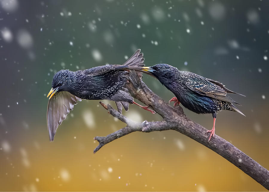 Bird Photograph - European Starling-1 by Rob Li