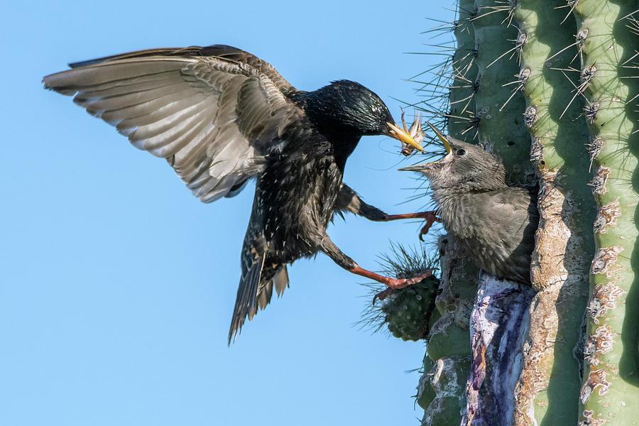 European Starling Feeding Juvenile 9272-050319 by Tam Ryan