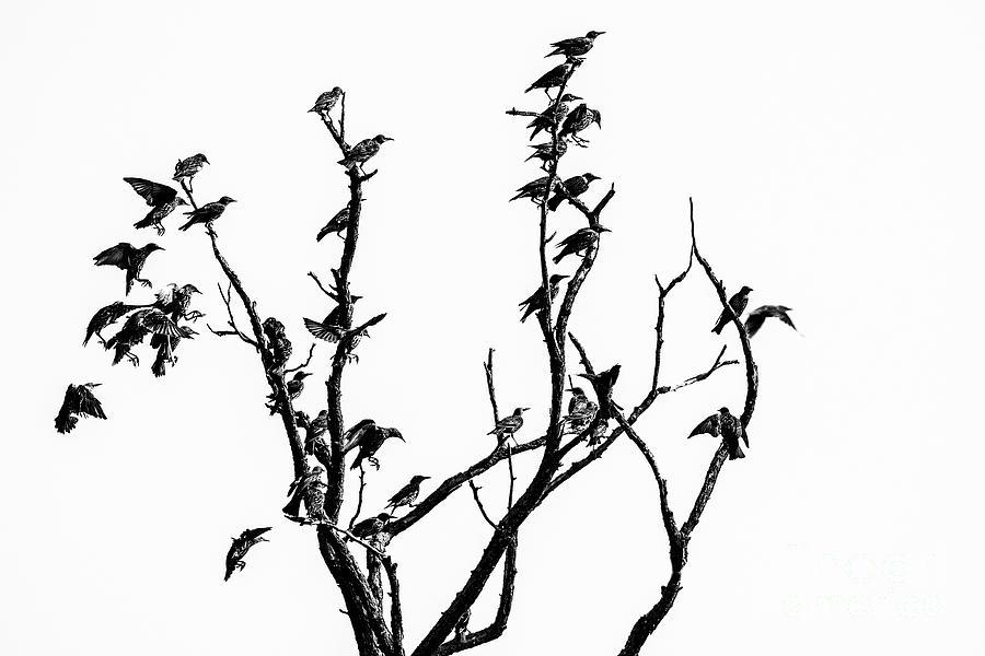 European starling by Odon Czintos