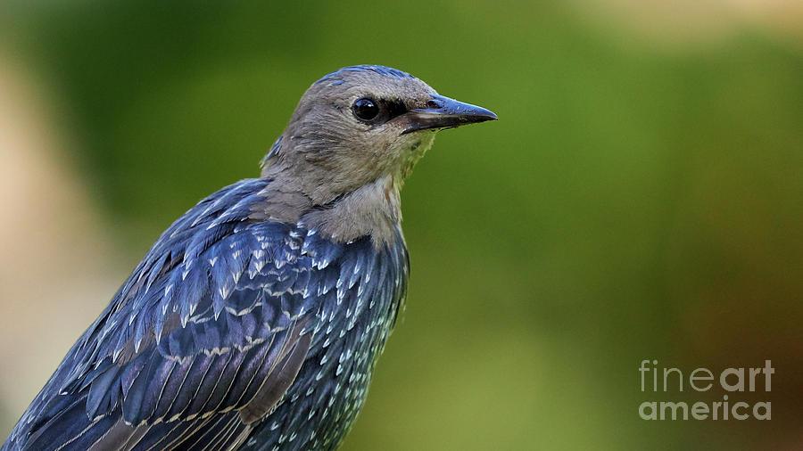 European StarlingSturnus vulgaris by Pablo Avanzini