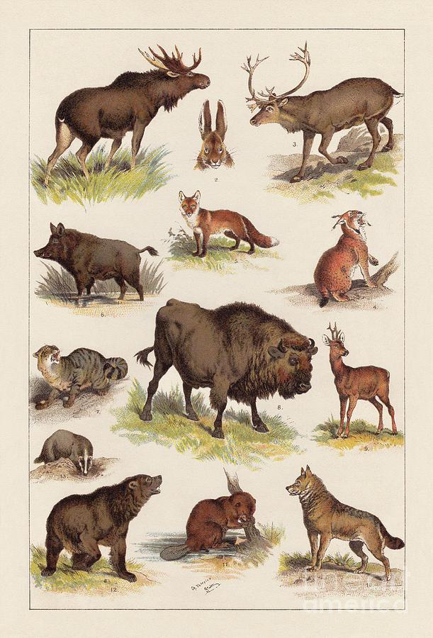 European Wild Mammals, Lithograph Digital Art by Zu 09