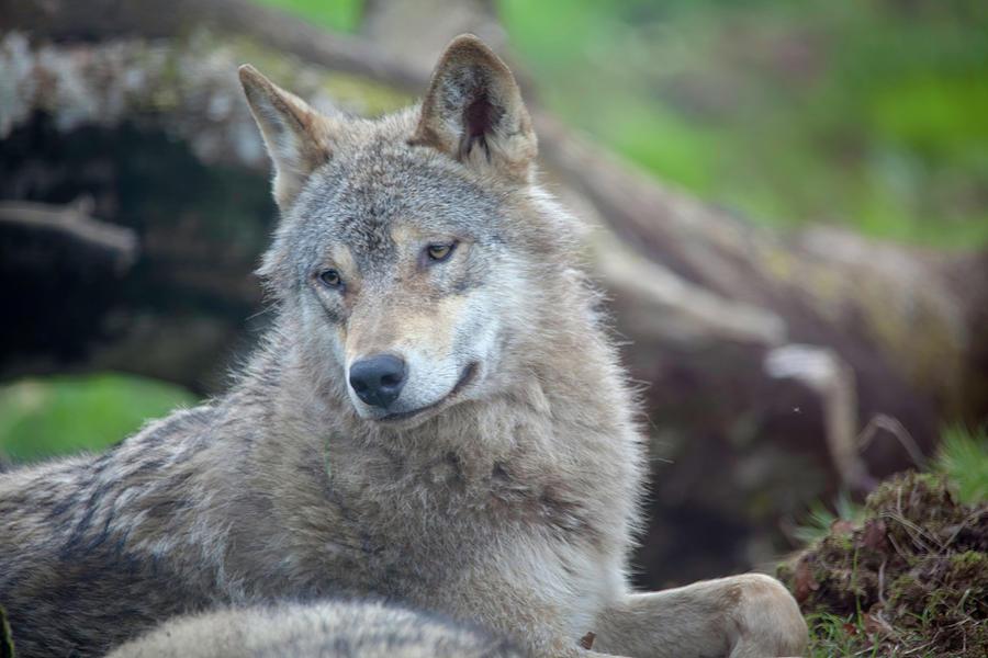 European Wolf by Cheltenham Media