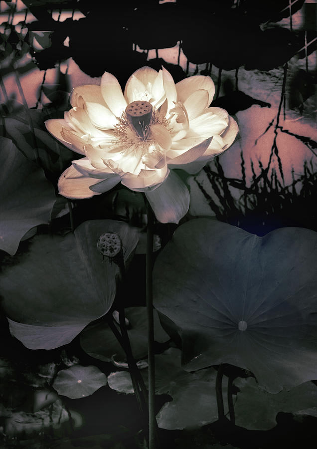 Lotus Photograph - Evening Blush by Jessica Jenney