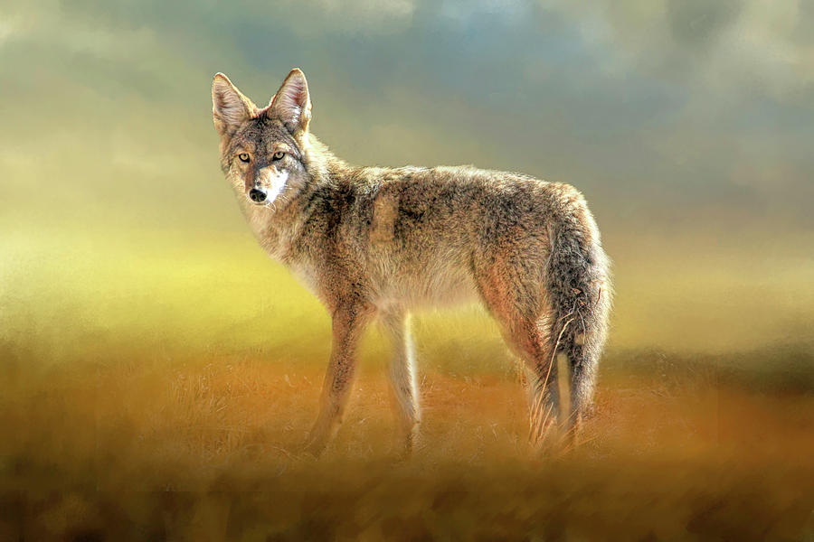 Coyotes Photograph - Evening Coyote by Donna Kennedy