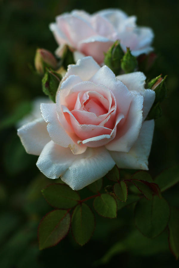 Evening Rose by Kevin Wheeler