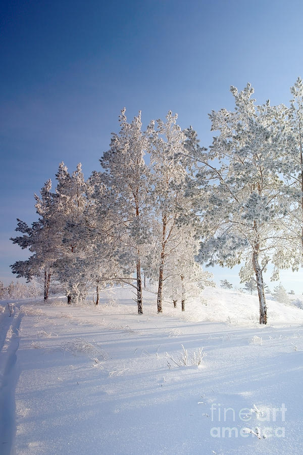 Forest Photograph - Evening Winter Landscape With Pines by Deserg