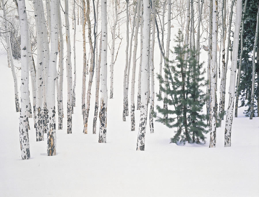 Evergreen & Aspen Trees In Snow H Photograph by John Kieffer
