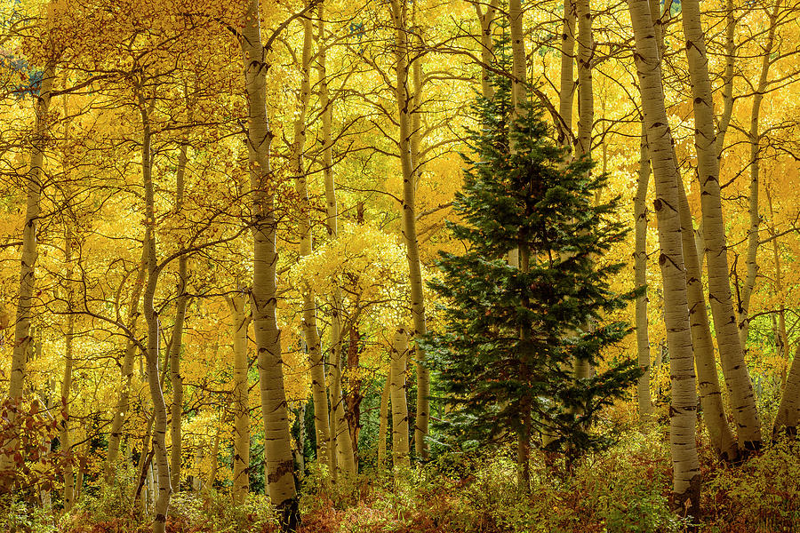 Evergreen in the Aspen Grove by James Covello