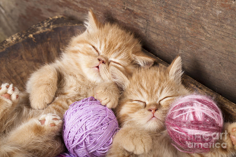 Fur Photograph - Exotic Kittens   Sleeping With A Ball by Liliya Kulianionak