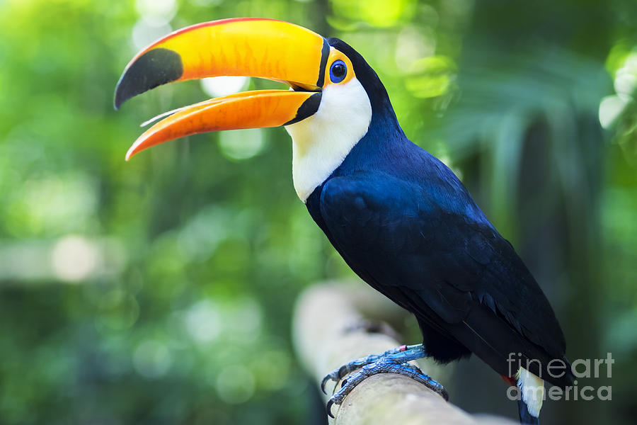 Feather Photograph - Exotic Toucan Bird In Natural Setting by R.m. Nunes