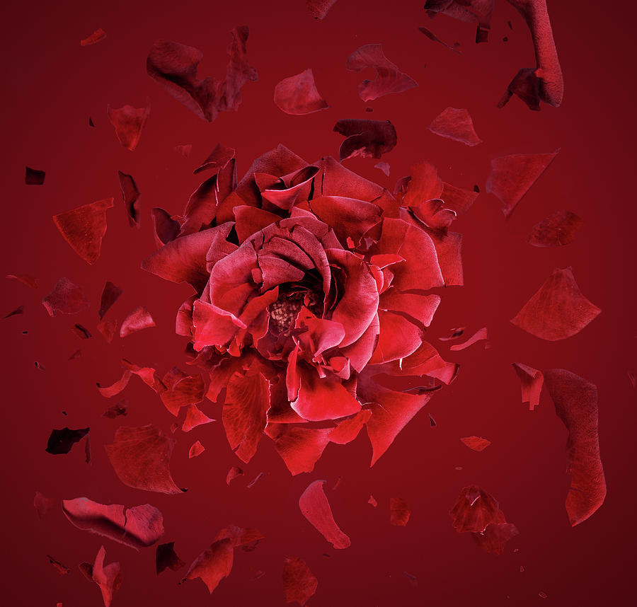 Exploding Red Rose, Fragments Flying Photograph by Jonathan Knowles