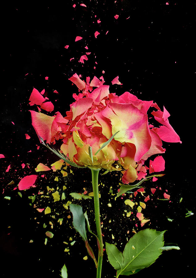 Black Background Photograph - Exploding Rose by Don Farrall