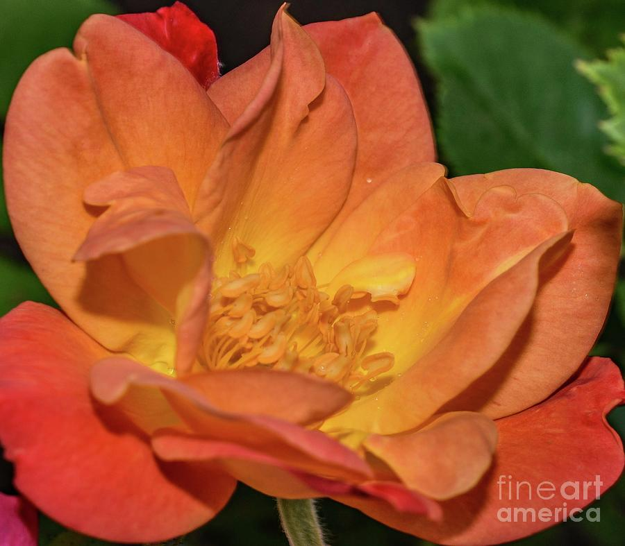 Exquisite Joseph's Coat Of Many Colors Rose by Cindy Treger