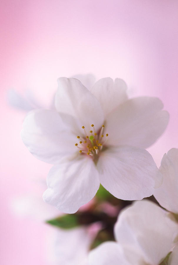 Extreme Close Up Of  Cherry Blossoms Photograph by Ooyoo
