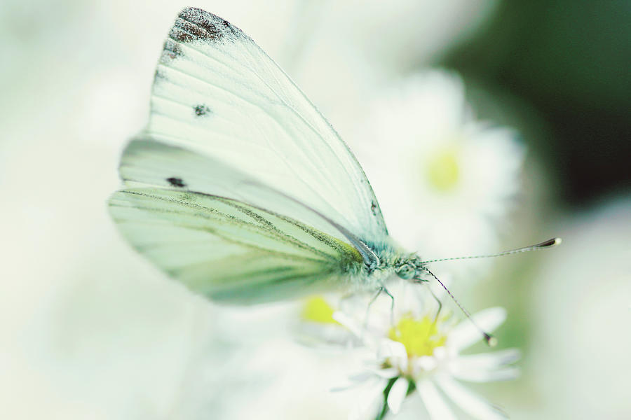 Extreme Close Up Of White Butterfly & Photograph by Les Hirondelles Photography