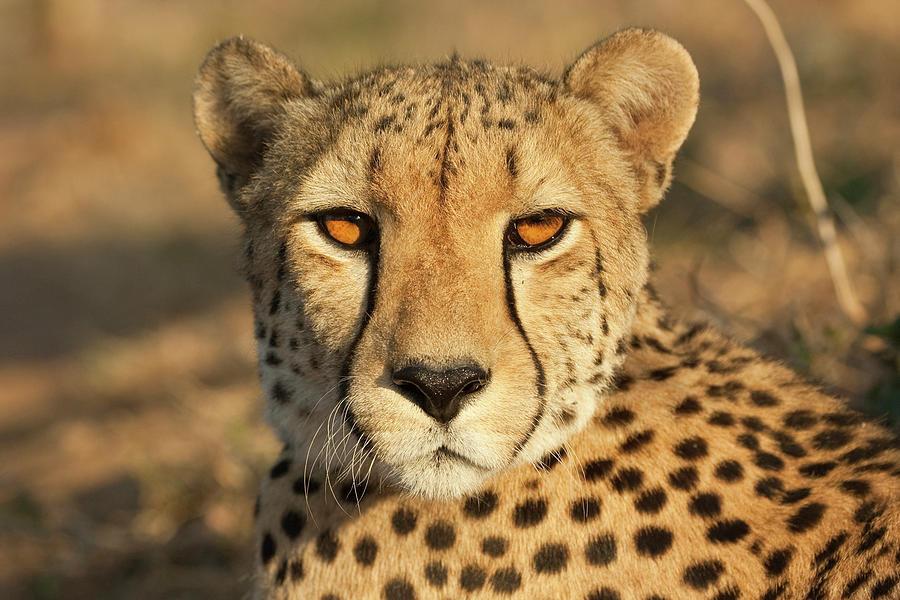 Eye Contact With A Cheetah Photograph by Designbase