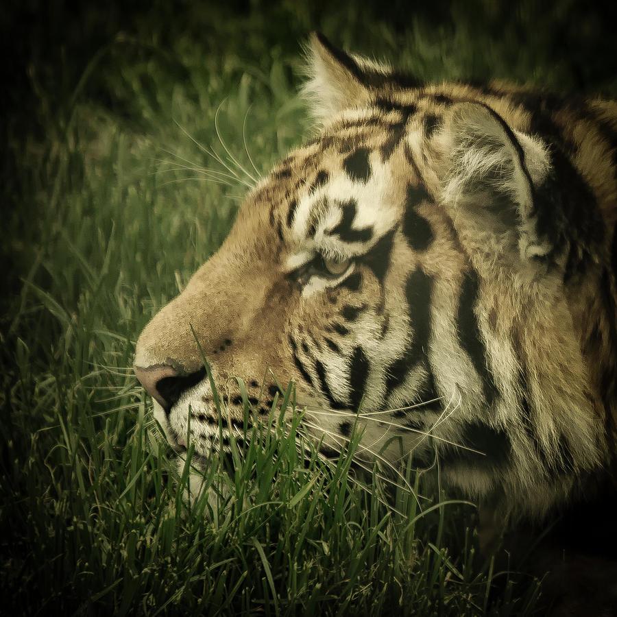 Eye of the tiger by Chris Boulton