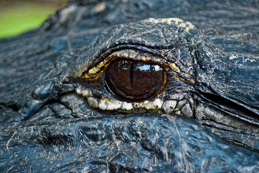 Eye Spy - American Alligator by KJ Swan