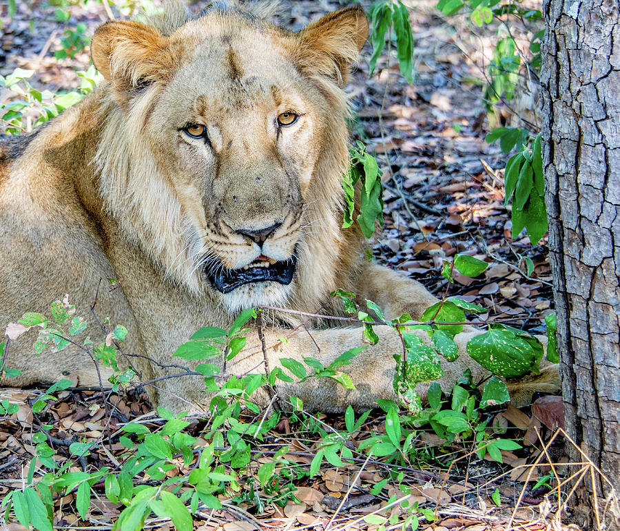 Eye to Eye With a Lion by Marcy Wielfaert