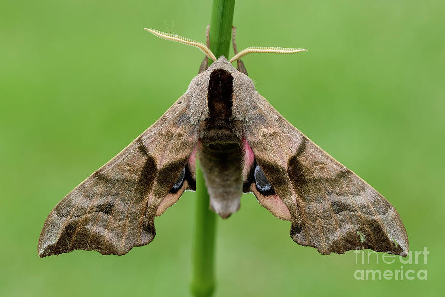 Eyed Hawk-moth, Smerinthus Ocellatus Photograph by Westend61