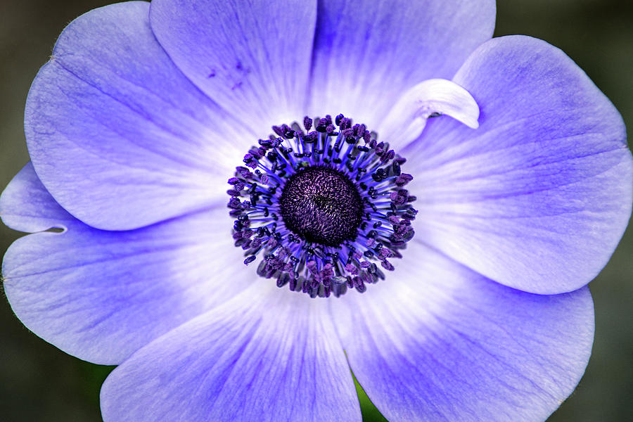 Fab Anemone by Don Johnson