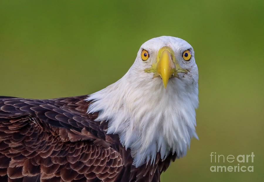 Face to Face Eagle by Tom Claud