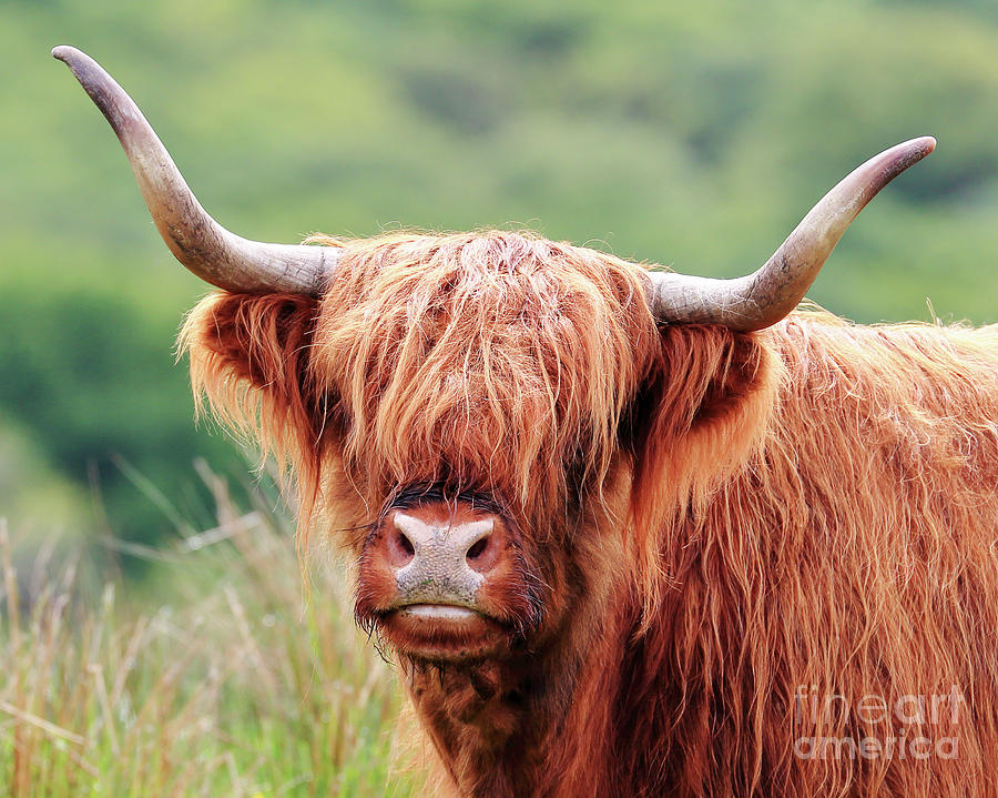 Face-to-face with a Highland Cow by Maria Gaellman