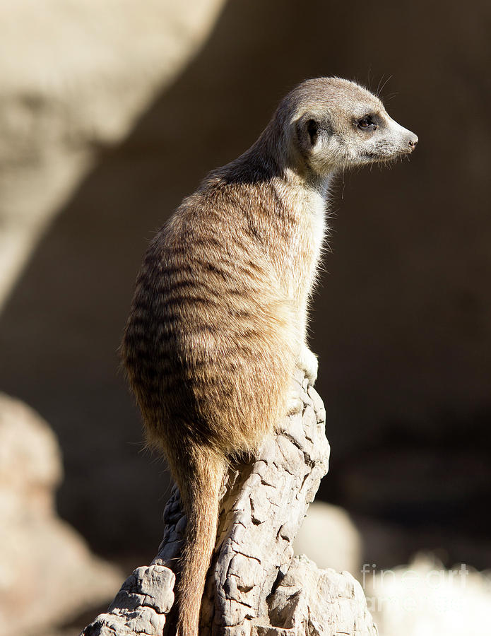 Suricata Suricatta Photograph - Facing Right by Shawn Jeffries