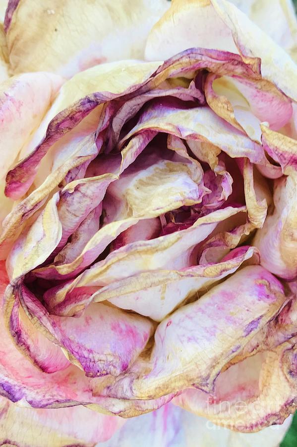 Faded Rose by Carol Groenen