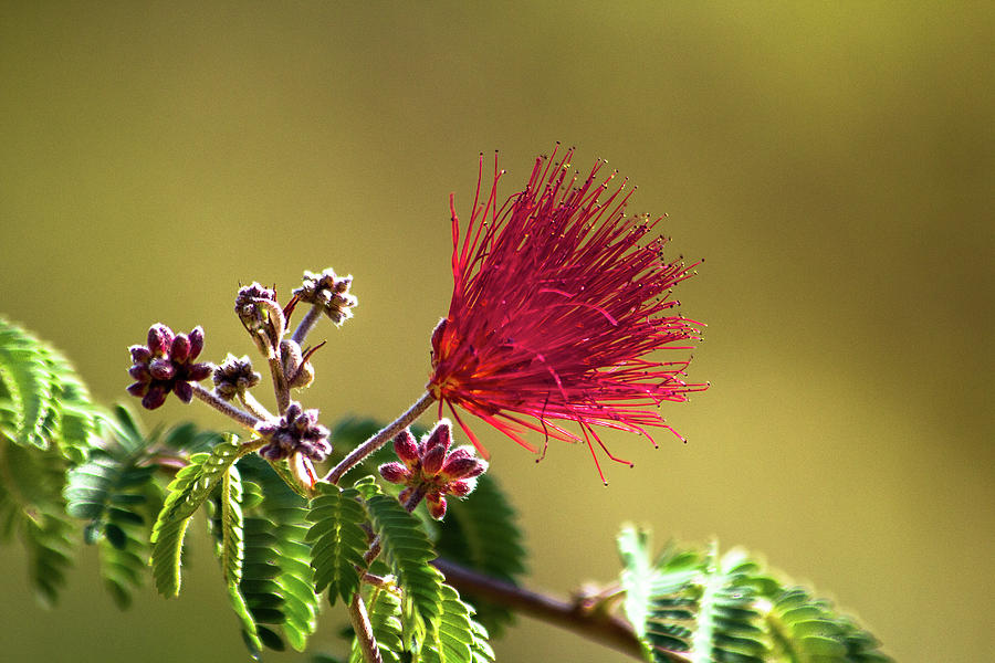 Fairy Duster Flower by Amy Sorvillo