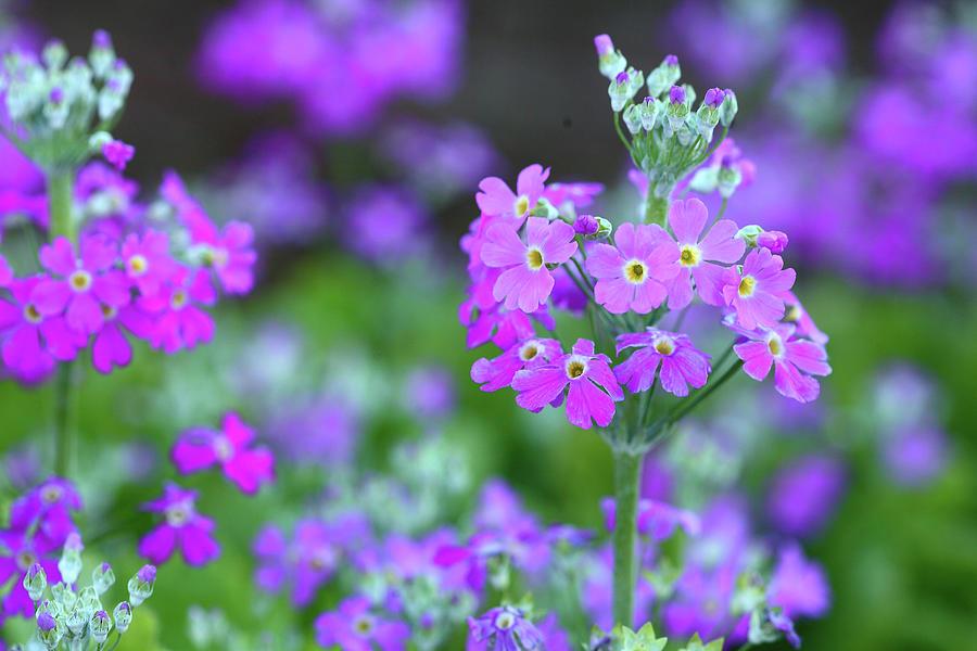 Fairy Primrose Photograph by Masahiro Nakano/a.collectionrf