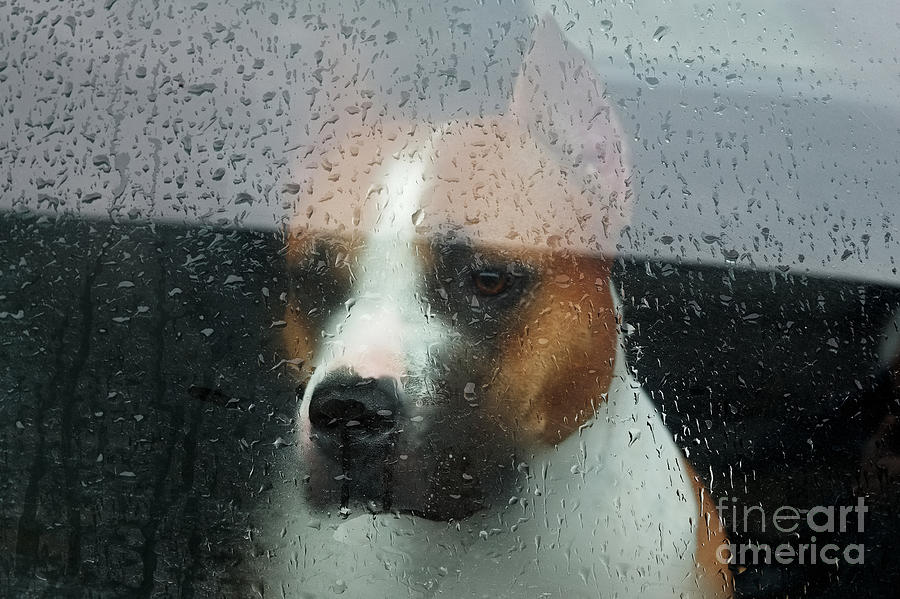 Lovelorn Photograph - Faithful Dog Sitting In A Car And by Dimedrol68