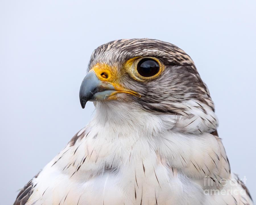 Falcon Portrait by Alma Danison