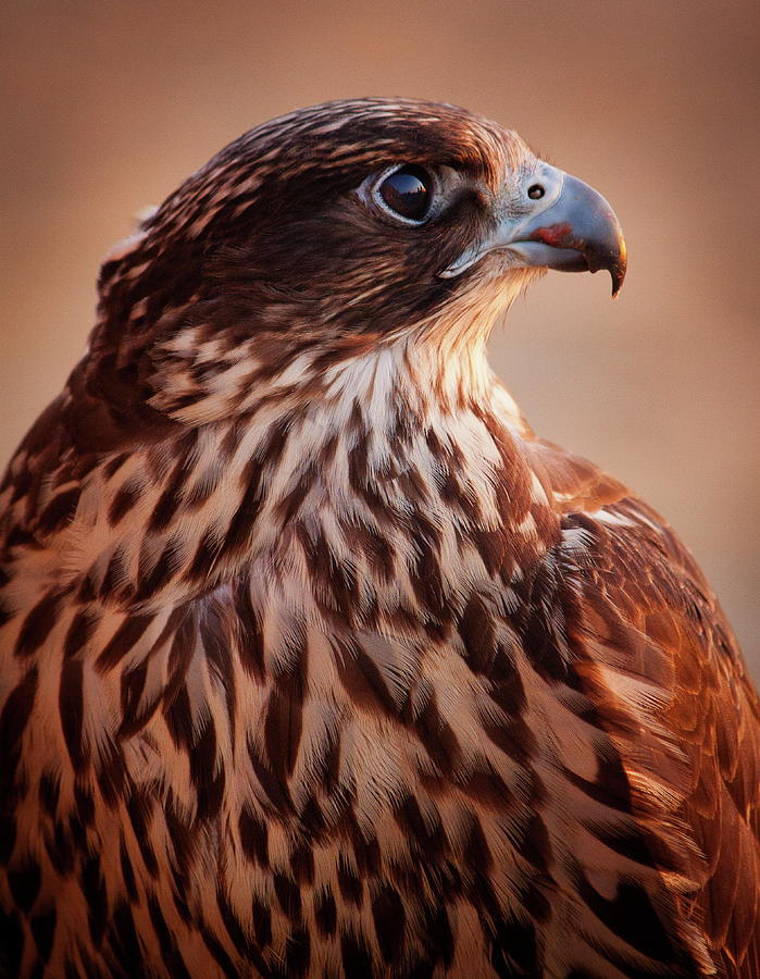 Falcon Profile Photograph by Clive Rees Photography